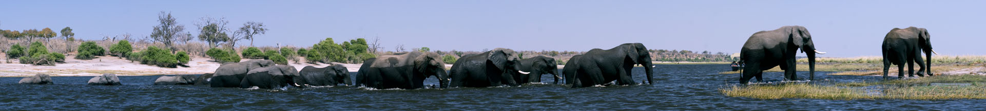 Elephants crossing the Chobe River from the Chobe National Park in Botswana